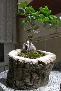 Ahşap kütük içerisinde ginseng bonsai  Bolu internetten çiçek siparişi