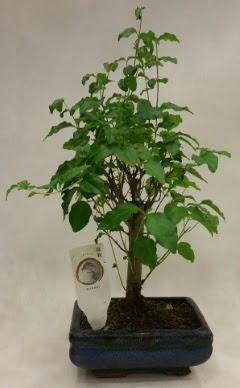 Minyatür bonsai japon ağacı satışı  Bolu çiçekçi telefonları