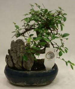 İthal 1.ci kalite bonsai japon ağacı  Bolu çiçek satışı