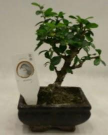 Küçük minyatür bonsai japon ağacı  Bolu çiçek gönderme