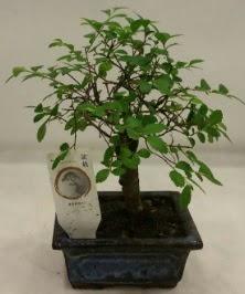 Minyatür ithal japon ağacı bonsai bitkisi  Bolu çiçek satışı