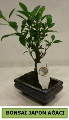 Bonsai japon ağacı saksı bitkisi  Bolu çiçek servisi , çiçekçi adresleri