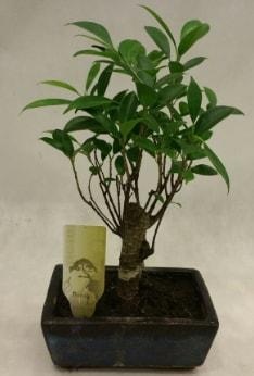 Japon ağacı bonsai bitkisi satışı  Bolu çiçekçi telefonları