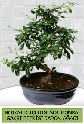 Seramik vazoda bonsai japon ağacı bitkisi  Bolu çiçek siparişi sitesi