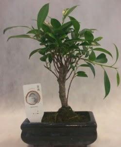 Bonsai japon ağacı bitkisi satışı  Bolu çiçek gönderme sitemiz güvenlidir