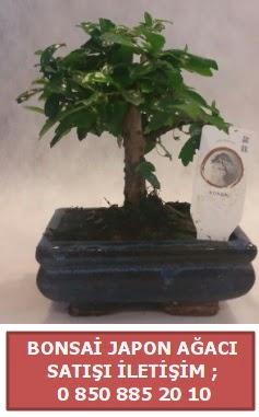 Japon ağacı minyaür bonsai satışı  Bolu çiçek satışı