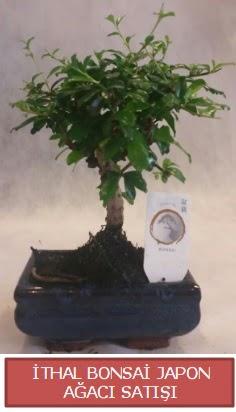 İthal küçük boy minyatür bonsai ağaç bitkisi  Bolu çiçekçi telefonları