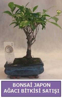 İthal Bonsai japon ağacı bitkisi satışı  Bolu İnternetten çiçek siparişi