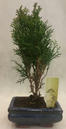 SINIRLI SAYIDA ÜRÜN Selvi Bonsai  Bolu İnternetten çiçek siparişi