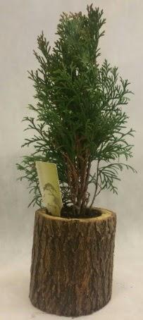 SINIRLI STOK Selvi Bonsai Doğal kütükte  Bolu İnternetten çiçek siparişi