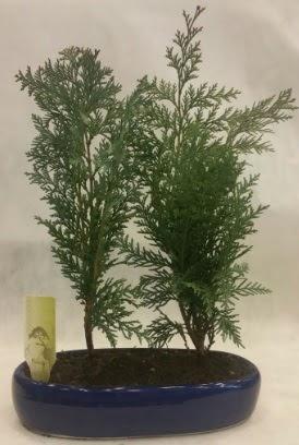 SINIRLI SAYIDA Selvi Ağacı bonsai ikili  Bolu çiçekçi telefonları