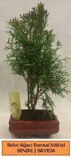 Selvi ağacı bonsai japon ağacı bitkisi  Bolu çiçek satışı