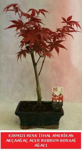 İTHAL ACER RUBRUM BONSAİ AĞACI  Bolu çiçek gönderme sitemiz güvenlidir