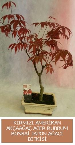 Amerikan akçaağaç Acer Rubrum bonsai  Bolu uluslararası çiçek gönderme