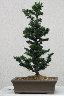 Çam ağacı bonsai bitkisi satışı  Bolu çiçekçi telefonları