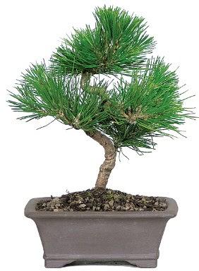 Çam ağacı bonsai japon ağacı bitkisi  Bolu çiçek gönderme