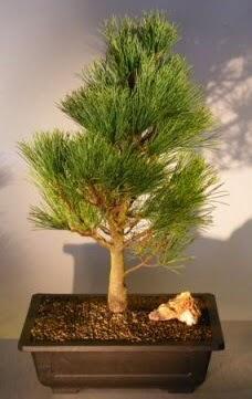 Çam ağacı japon ağacı bitkisi bonsai  Bolu çiçekçi telefonları