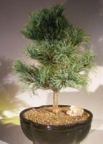Çam ağacı bonsai bitkisi satışı  Bolu ucuz çiçek gönder