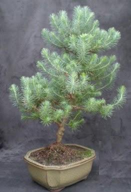 Bonsai çam ağacı japon ağacı bitkisi  Bolu çiçek gönderme sitemiz güvenlidir