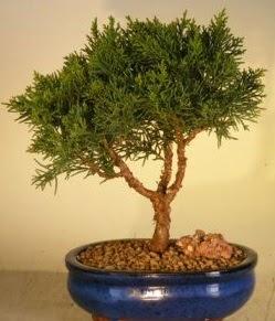 Servi çam bonsai japon ağacı bitkisi  Bolu çiçek yolla