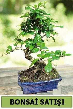 Çam bonsai japon ağacı satışı  Bolu çiçek satışı