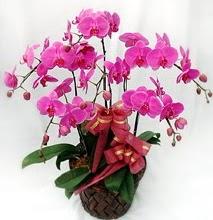 Sepet içerisinde 5 dallı lila orkide  Bolu ucuz çiçek gönder