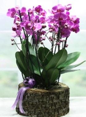 Kütük içerisinde 6 dallı mor orkide  Bolu ucuz çiçek gönder