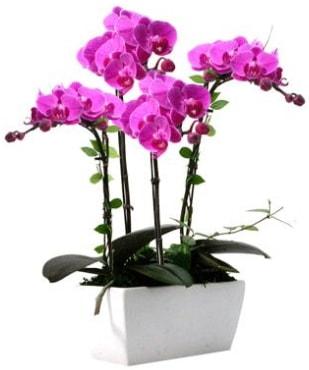Seramik vazo içerisinde 4 dallı mor orkide  Bolu çiçek satışı