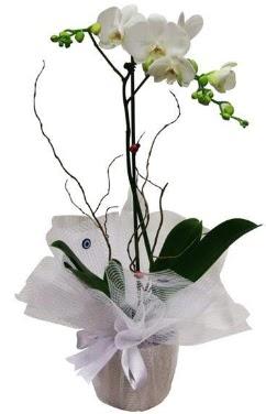 Tek dallı beyaz orkide  Bolu cicek , cicekci