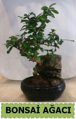 Bonsai ağacı japon ağacı satışı  Bolu hediye çiçek yolla