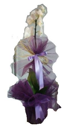 Tek dallı beyaz orkide süper kalite ithal  Bolu çiçek siparişi sitesi