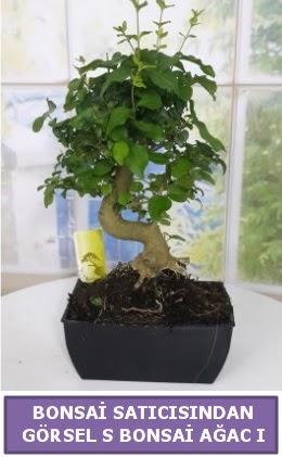 S dal eğriliği bonsai japon ağacı  Bolu çiçek satışı