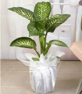 Tropik saksı çiçeği bitkisi  Bolu çiçek satışı