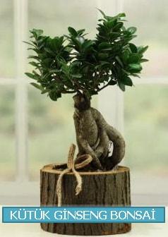 Kütük ağaç içerisinde ginseng bonsai  Bolu çiçek gönderme sitemiz güvenlidir