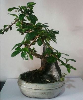 S şeklinde ithal bonsai ağacı  Bolu çiçek yolla