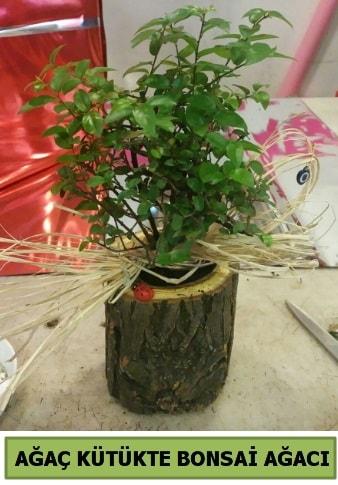 Doğal ağaç kütük içerisinde bonsai ağacı  Bolu çiçek gönderme sitemiz güvenlidir