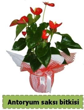 Antoryum saksı bitkisi satışı  Bolu çiçek , çiçekçi , çiçekçilik