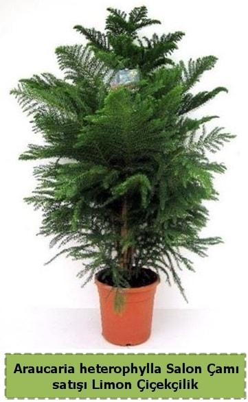 Salon Çamı Satışı Araucaria heterophylla  Bolu çiçek satışı