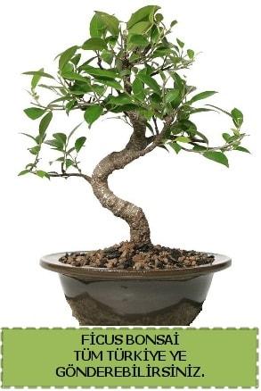Ficus bonsai  Bolu çiçek gönderme sitemiz güvenlidir
