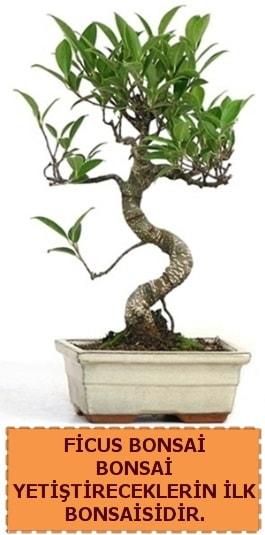 Ficus bonsai 15 ile 25 cm arasındadır  Bolu çiçek yolla