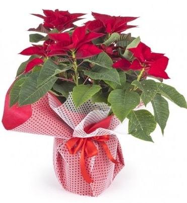 Atatürk çiçeği saksı bitkisi  Bolu çiçek gönderme sitemiz güvenlidir