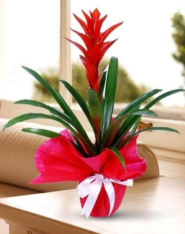 Guzmanya Saksı Çiçeği  Bolu çiçek yolla