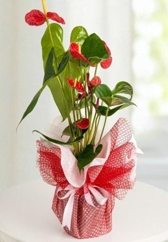 Anthurium Saksı Çiçeği  Bolu hediye çiçek yolla