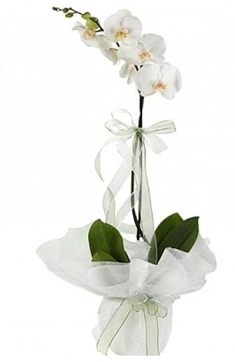 Tekli Beyaz Orkide  Bolu hediye çiçek yolla