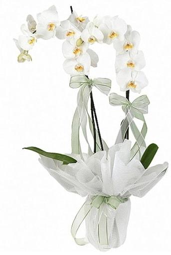 Çift Dallı Beyaz Orkide  Bolu anneler günü çiçek yolla