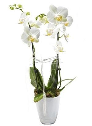 2 dallı beyaz seramik beyaz orkide saksısı  Bolu çiçek gönderme sitemiz güvenlidir