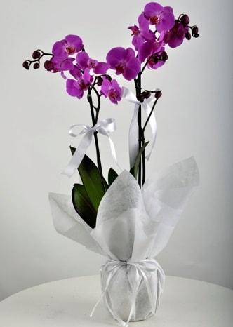 Çift dallı saksıda mor orkide çiçeği  Bolu çiçek siparişi vermek