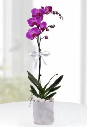 Tek dallı saksıda mor orkide çiçeği  Bolu çiçekçiler