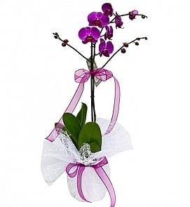 Tek dallı saksıda ithal mor orkide çiçeği  Bolu çiçekçiler
