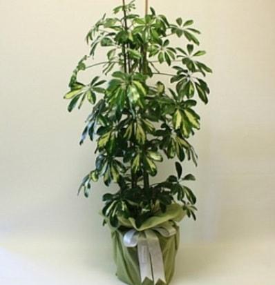 Şeflera salon bitkisi  Bolu çiçek gönderme